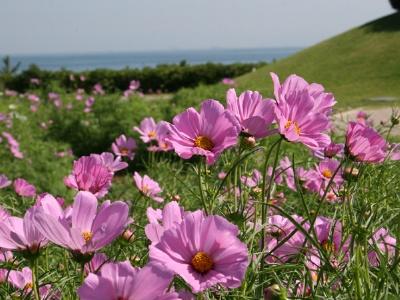 """""""花の島 淡路""""は秋にも素敵なお花畑が広がります"""