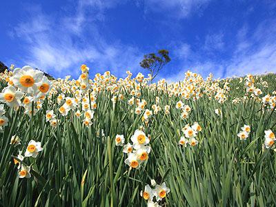 〜早春の甘い香り〜 日本三大群生地「灘黒岩水仙郷」