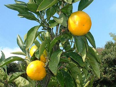 太陽の光をさんさんと浴びた元気印のオレンジ色