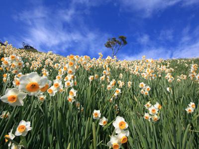 咲き乱れた水仙郷はまさに幻想的な風景