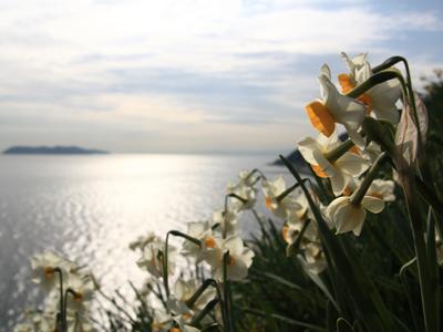 水仙と海と空のコントラストが美しい灘黒岩水仙郷