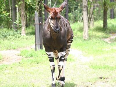 ズーラシアでご覧頂ける珍しい動物・『オカピ』
