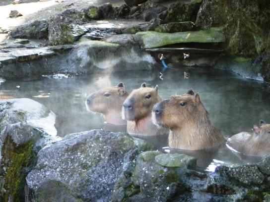 元祖カピバラ温泉はココ!伊豆シャボテン動物公園