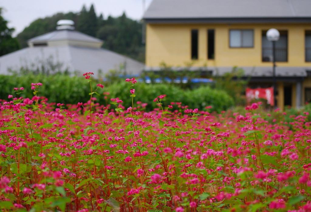 宿前の自家菜園で栽培する「赤そばの花」 9月後半ごろ