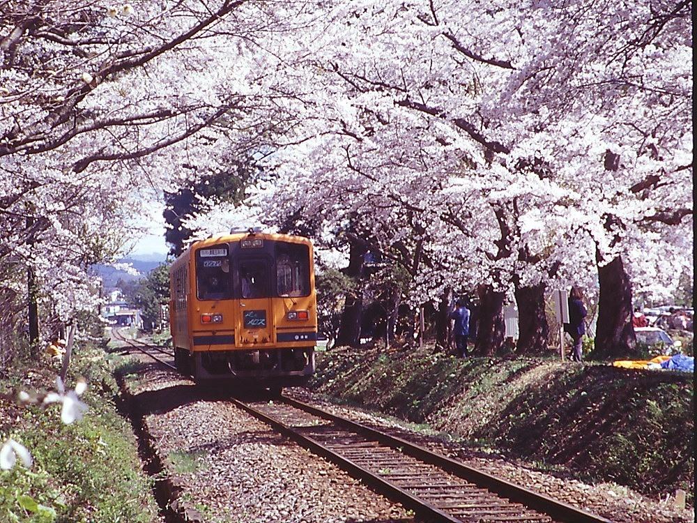 train or sakura