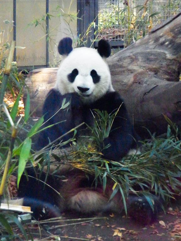 ☆上野動物園のパンダです♪