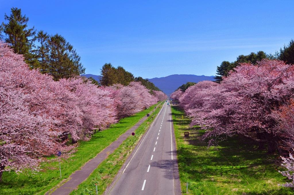 桜が見頃な静内二十間道路